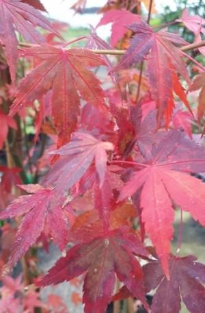 acer palmatum arce japones