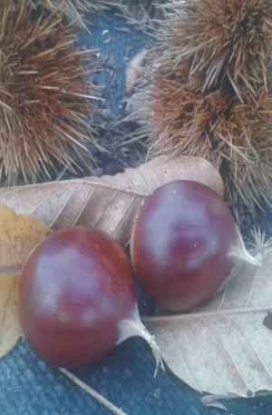 castano hybrido clon 90044 resistente para produccion de fruto