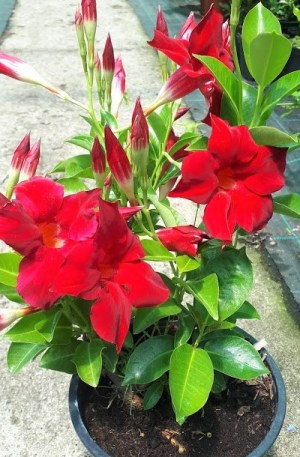 diplademiar roja mandevilla planta trepadora