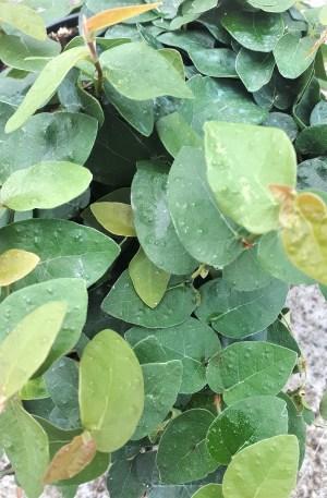 planta ficus pumila repens