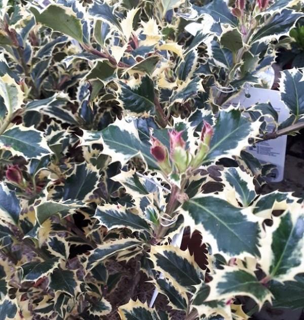 ilex argentea marginata acebo variegata