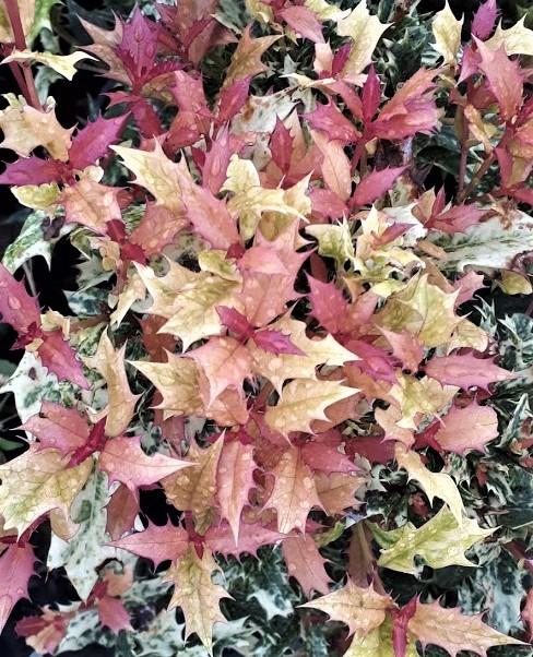 osmanthus - falso acebo tricolor