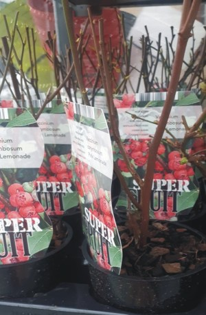 planta de frutos silvestres arándano rojo vaccinum corymbosum pink lemonade