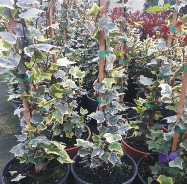 planta trepadora hedera mini variegata o hiedra