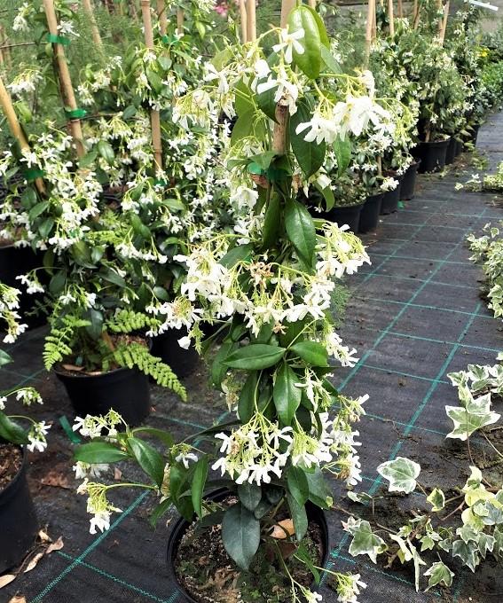 trachelospermum jasminoides falso jazmín de leche