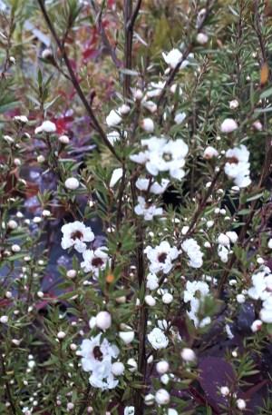 leptospermum blanco flor de cera