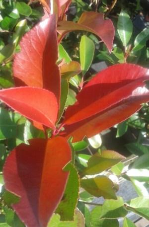 planta photinia para cierre