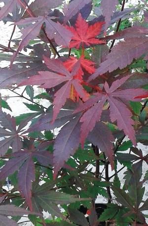 planta de acer japones acer palmatum atropurpurea