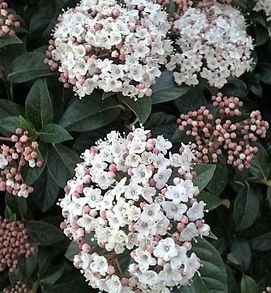 durillo viburnum tinus planta