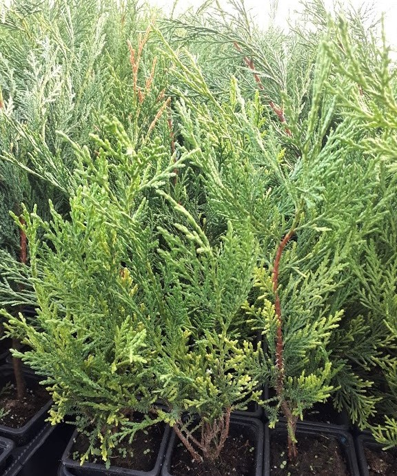 cupressocyparis leylandii, ciprés para cierre o seto natural