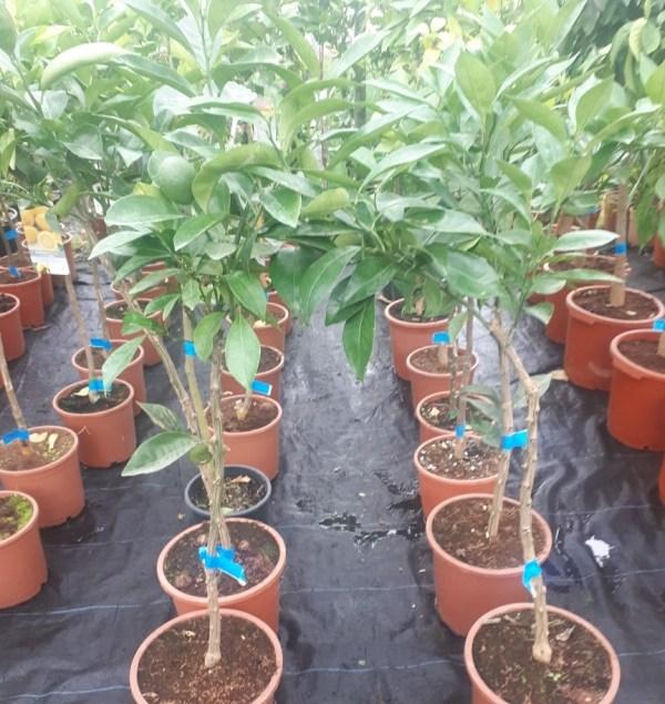 naranjo árbol frutal cítrico