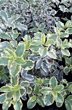 pittosporum variegata, pitosporo