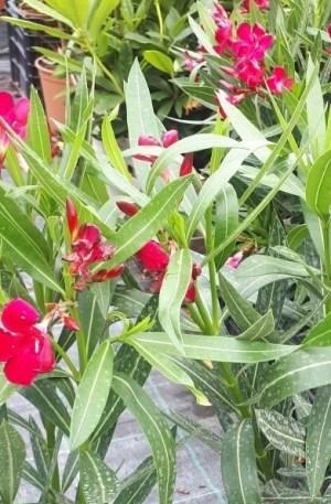 adelfa roja nerium oleander