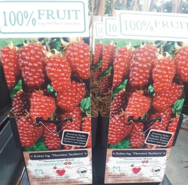 planta de mora + frambuesa o rubus tayberry
