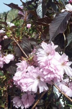 prunus royal burgundy cerezo de flor
