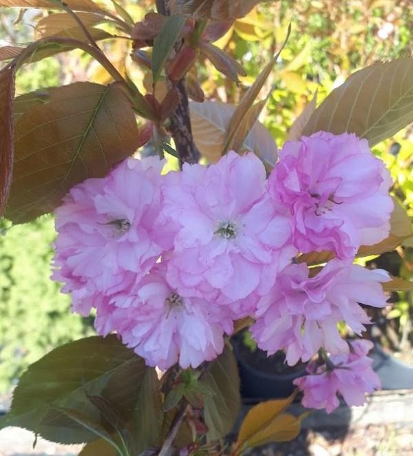 prunus serrulata kanzan cerezo de flor