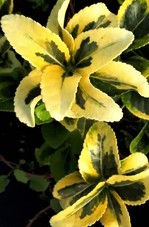 planta euonimus japonica aurea