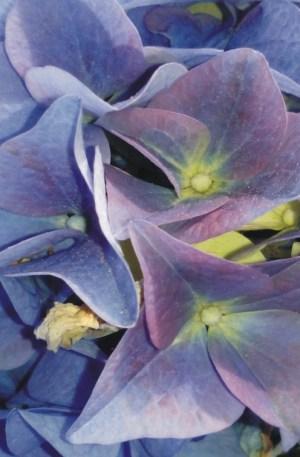 hortensia azul hydrangea