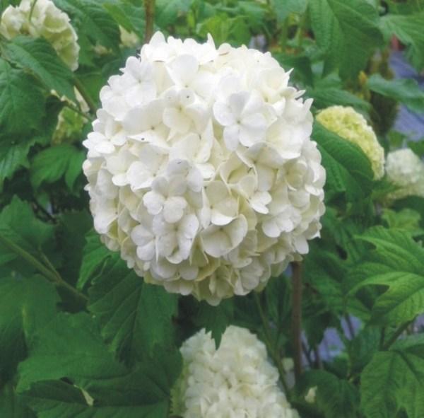 viburnum opulus roseum pompones