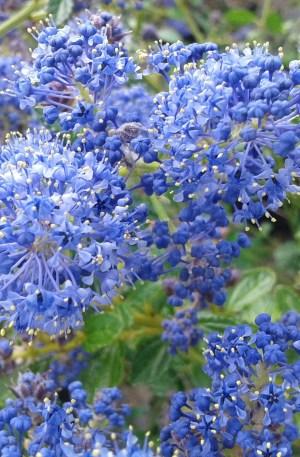 ceanothus repens azul