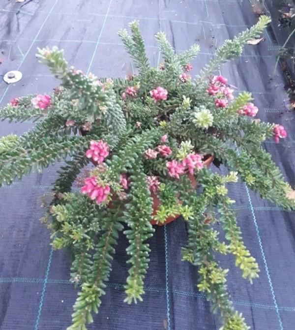 planta grevillea tamborita