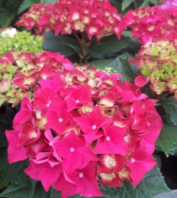hortensia roja hydrangea