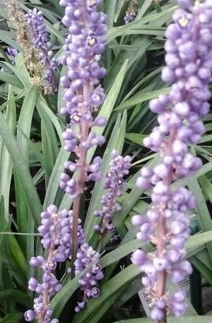 liriope muscari planta serpentina