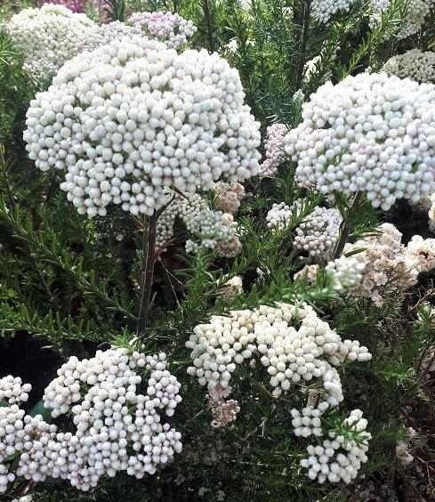 ozothamnus flor de arroz planta