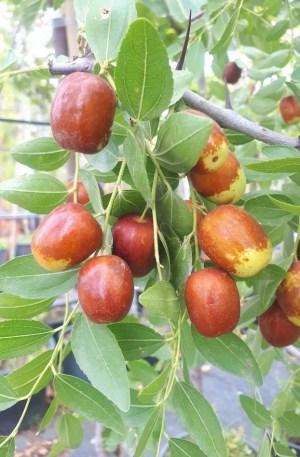 planta de azufaifo