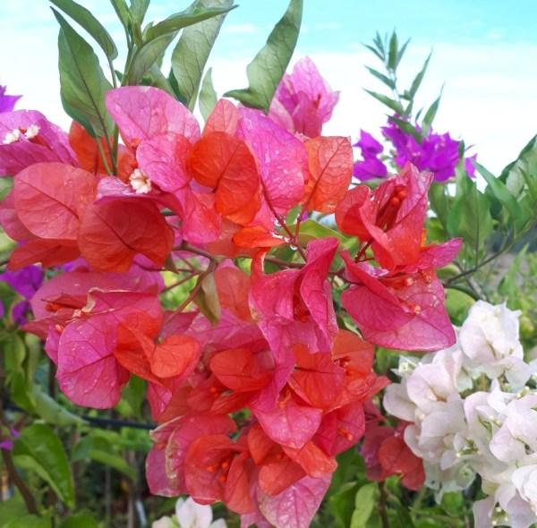 planta trepadora bouganvillea roja buganvilla