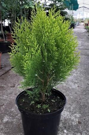 thuja aurea nana para macetas y jardín