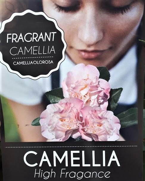 camelia high fragance, camellia de flor olorosa rosa doble