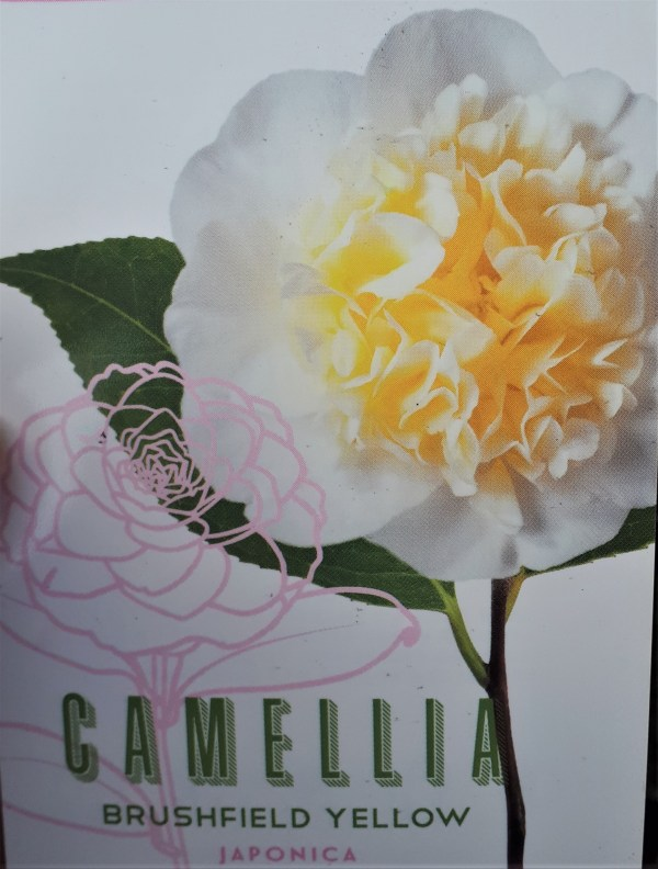 camellia brushfield yellow camelia blanca centro amarillo