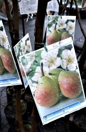 moratini árbol frutal