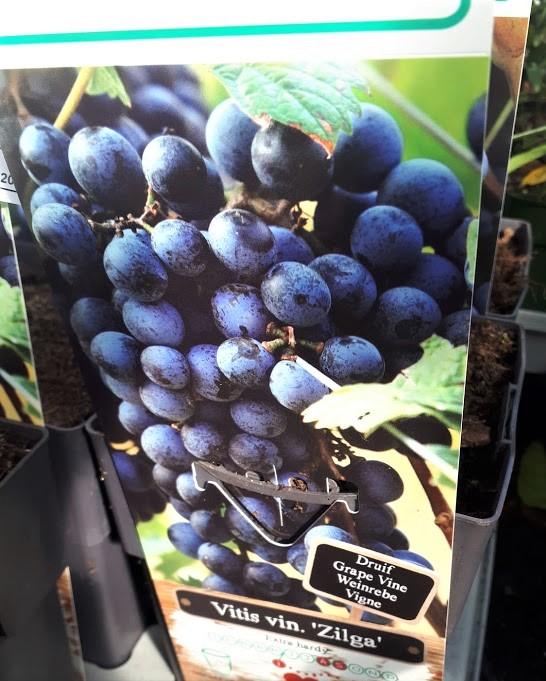 parra uva negra vitis zilga