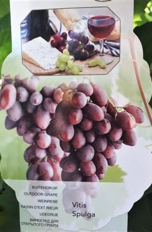 parra uva vitis spulga