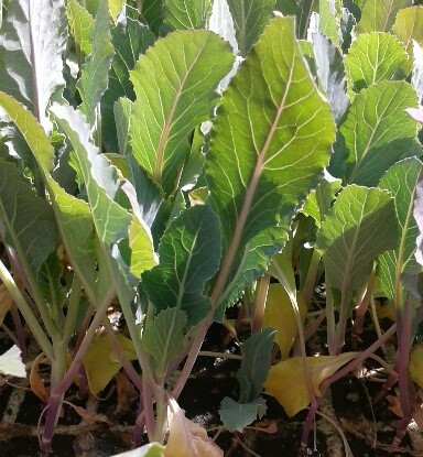 planta de coliflor en cepellón