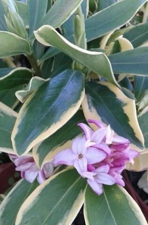 planta de daphne odora aureomarginata, dafne