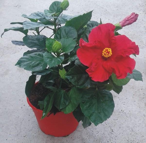 rosa sinensi rojo