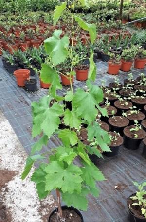 vitis moscatell de alejandría parra uva de mesa blanca