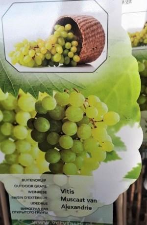vitis uva de mesa moscatel de Alejadría
