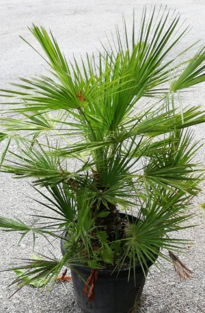 chamaerops humilis palmera enana
