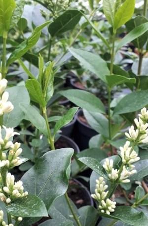 ligustrum japonica aligustre