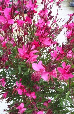 planta gaura roja