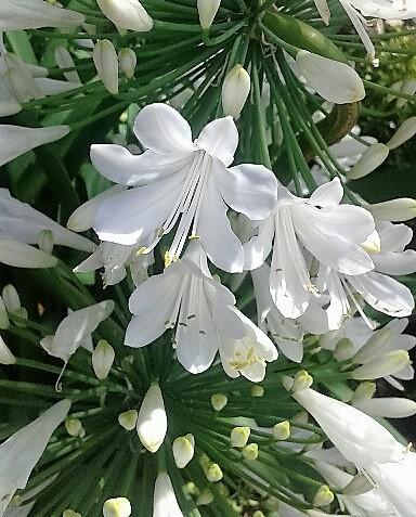 agapanthus blanco AGAPANTO PLANTA