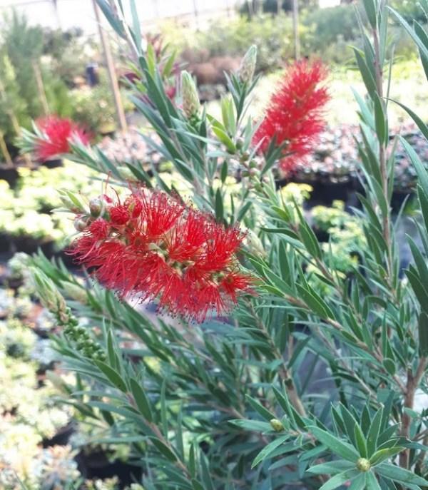 callistemon masotti planta