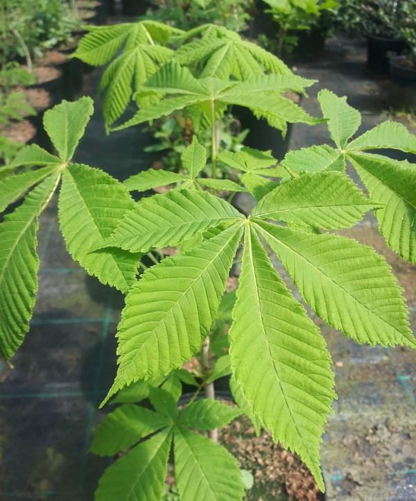 castaño de indias aesculus hippocastanum
