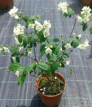 celindo planta en maceta