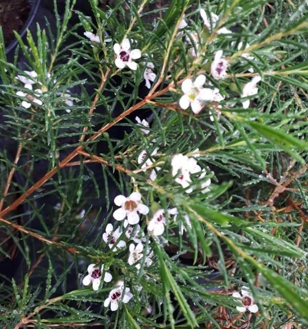 chamaelacium flor de cera