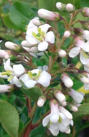 escalonia blanca
